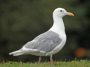 Glaucous-winged_Gull_RWD1
